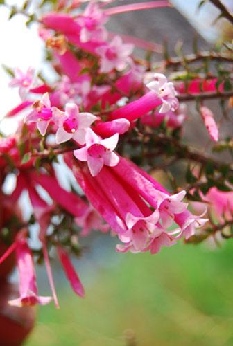 Buschblüten Bush Fuchsia